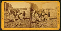Woolly_Horse_of_California