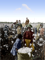 I10065 - Picking cotton in Mississippi